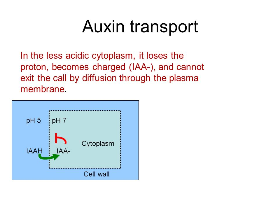 Auxin transport