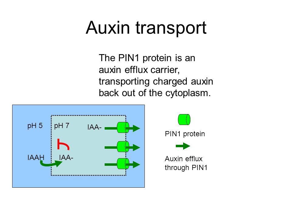 Auxin transport The PIN1 protein is an auxin efflux carrier, transporting charged auxin back out of the cytoplasm.