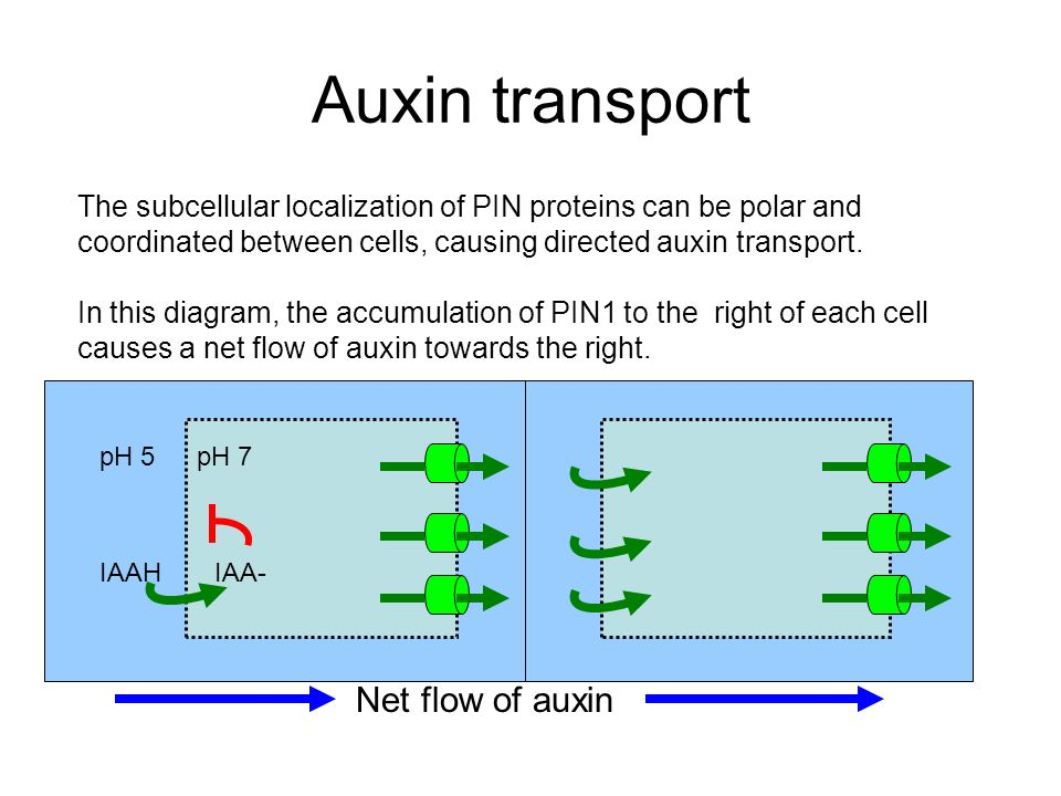 Auxin transport Net flow of auxin