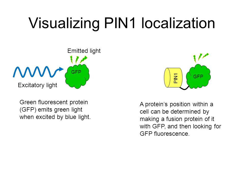 Visualizing PIN1 localization
