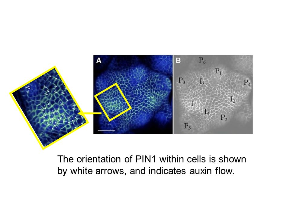 The orientation of PIN1 within cells is shown by white arrows, and indicates auxin flow.