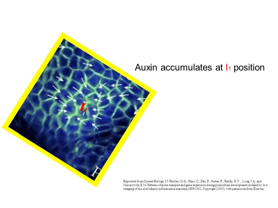 I1 Auxin accumulates at I1 position