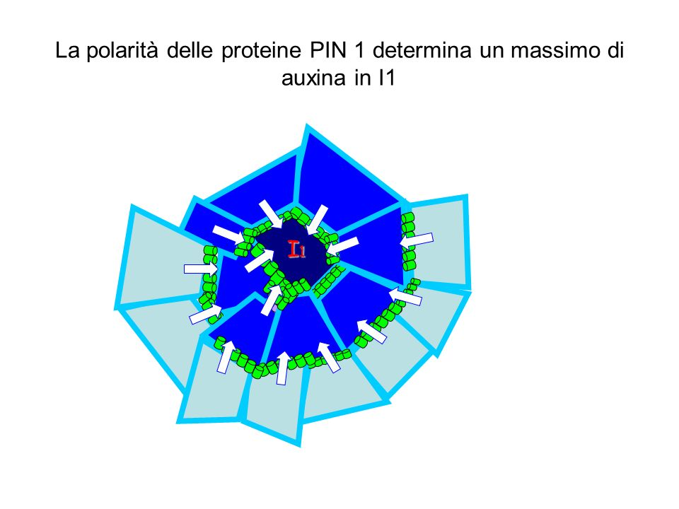 La polarità delle proteine PIN 1 determina un massimo di auxina in I1