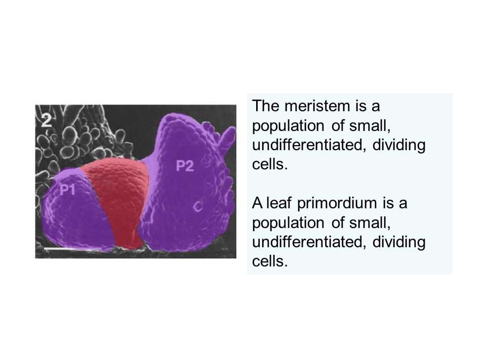 The meristem is a population of small, undifferentiated, dividing cells.