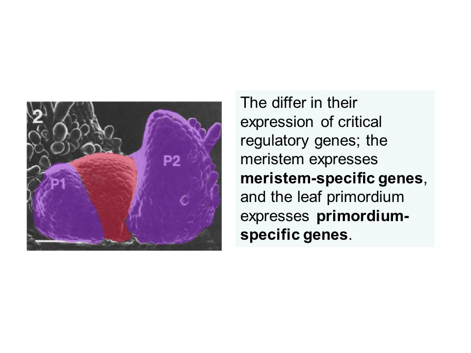 The differ in their expression of critical regulatory genes; the meristem expresses meristem-specific genes, and the leaf primordium expresses primordium-specific genes.