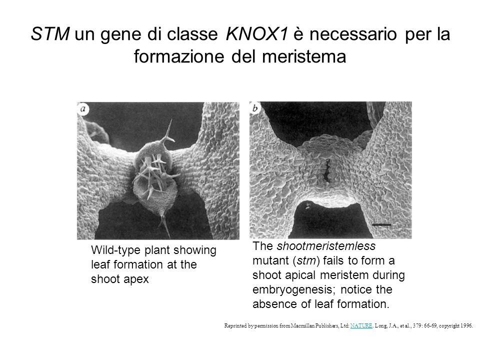 STM un gene di classe KNOX1 è necessario per la formazione del meristema