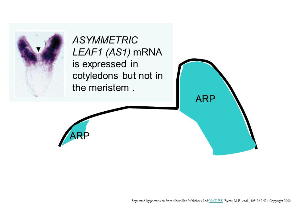 ASYMMETRIC LEAF1 (AS1) mRNA is expressed in cotyledons but not in the meristem .