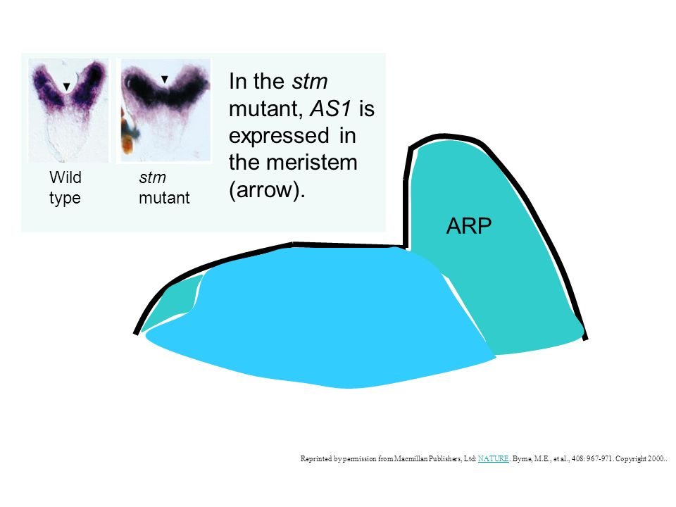In the stm mutant, AS1 is expressed in the meristem (arrow).