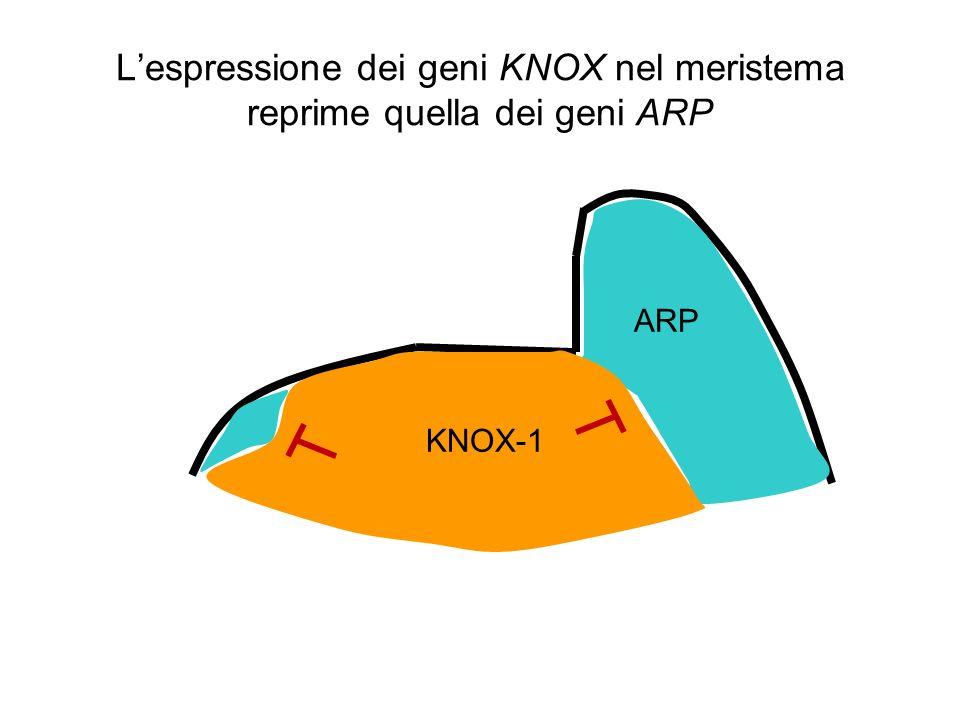 L'espressione dei geni KNOX nel meristema reprime quella dei geni ARP