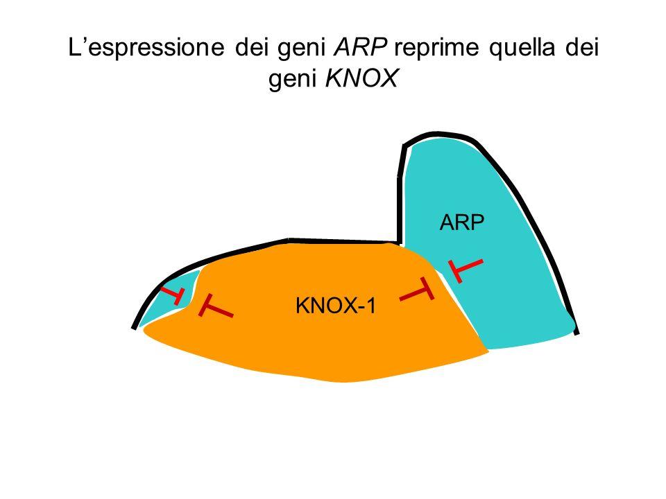 L'espressione dei geni ARP reprime quella dei geni KNOX