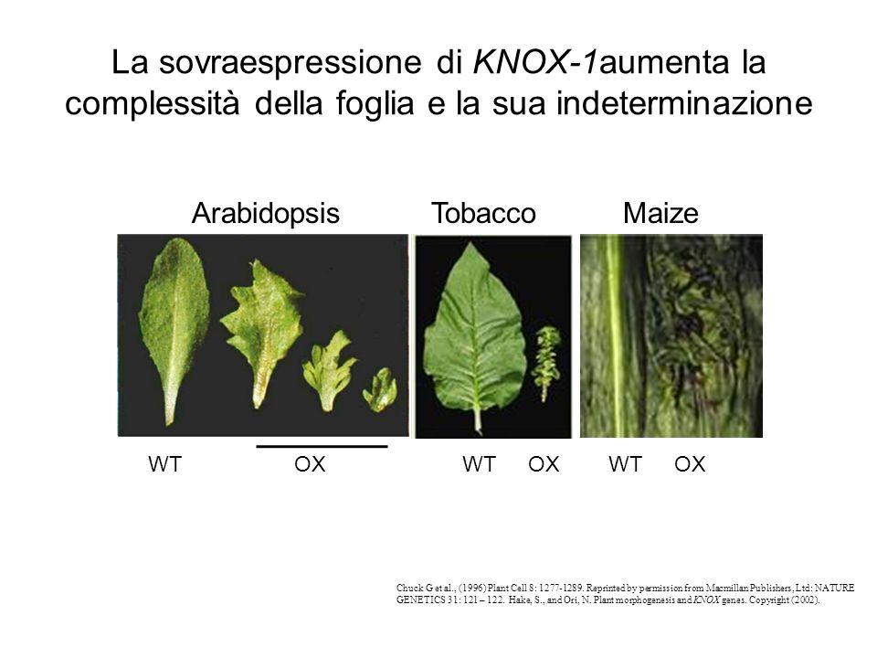 La sovraespressione di KNOX-1aumenta la complessità della foglia e la sua indeterminazione