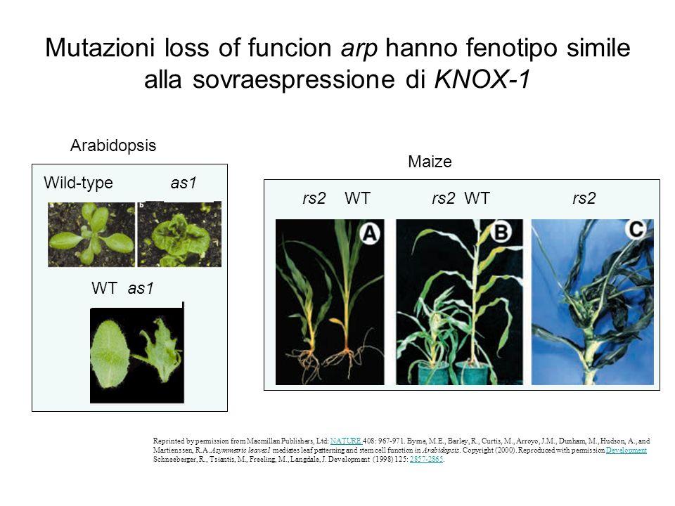 Mutazioni loss of funcion arp hanno fenotipo simile alla sovraespressione di KNOX-1