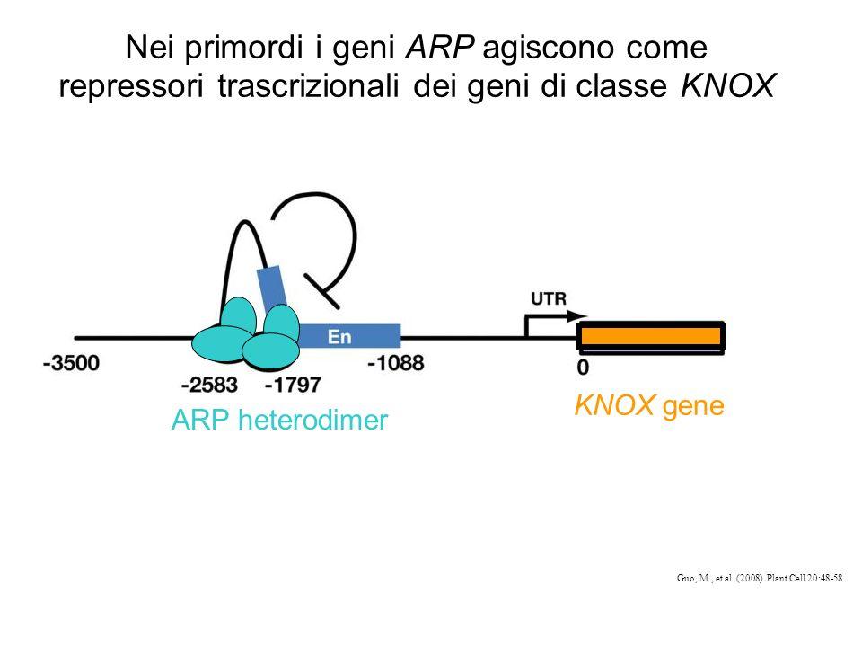 Nei primordi i geni ARP agiscono come repressori trascrizionali dei geni di classe KNOX