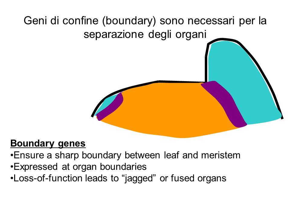 Geni di confine (boundary) sono necessari per la separazione degli organi