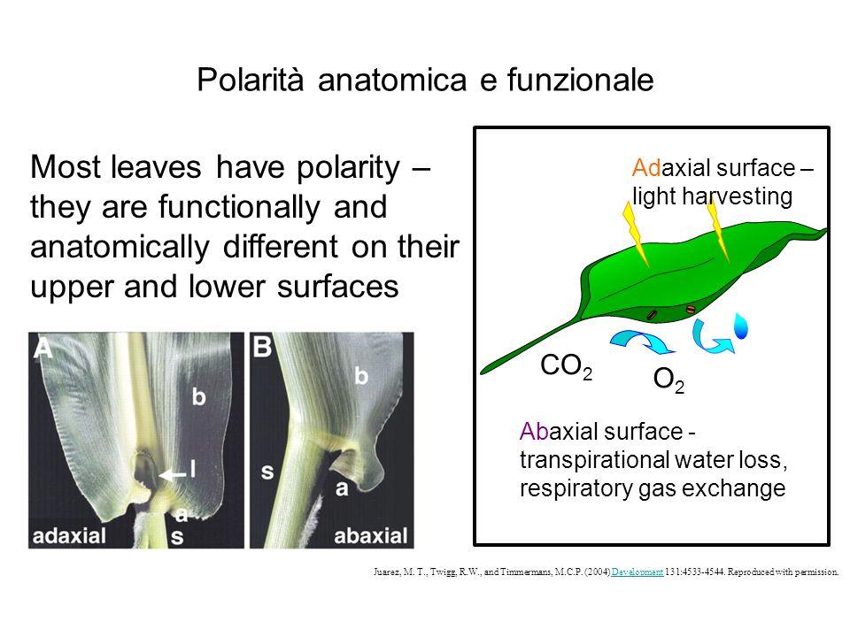Polarità anatomica e funzionale