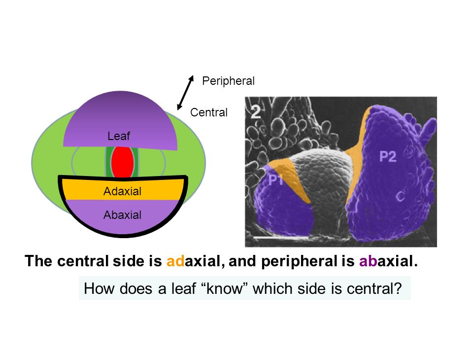 The central side is adaxial, and peripheral is abaxial.