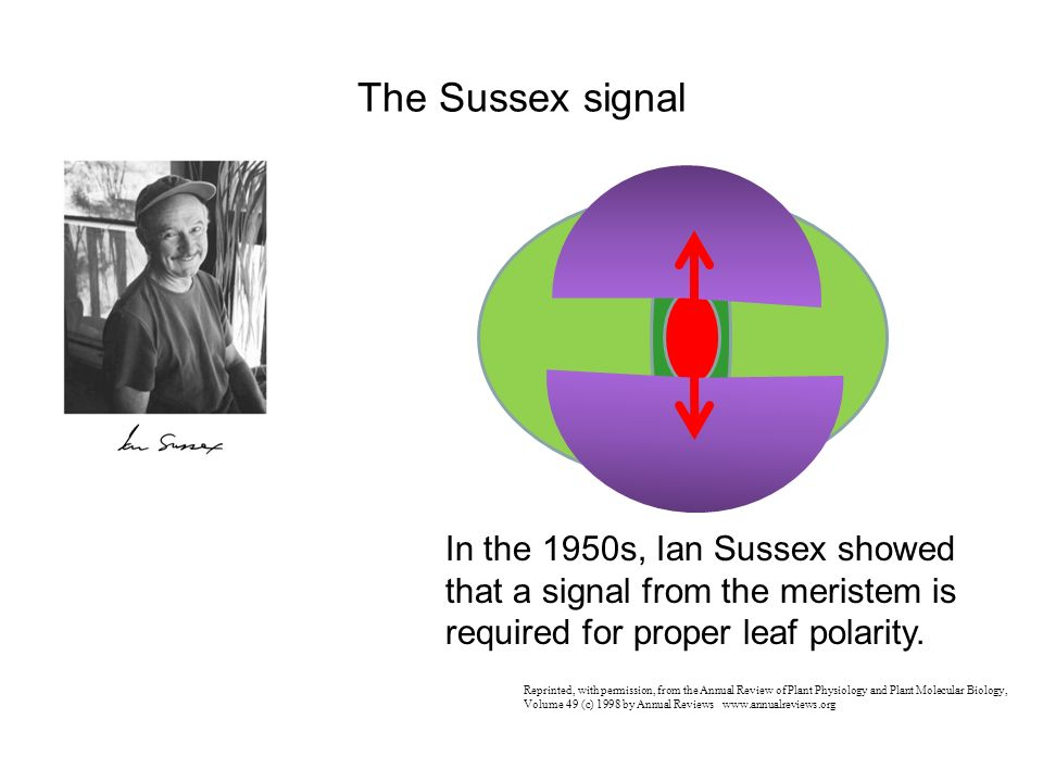 The Sussex signal In the 1950s, Ian Sussex showed that a signal from the meristem is required for proper leaf polarity.