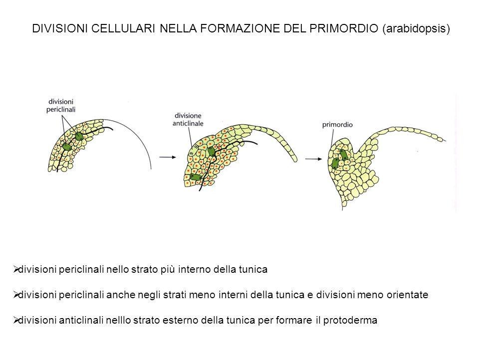 DIVISIONI CELLULARI NELLA FORMAZIONE DEL PRIMORDIO (arabidopsis)