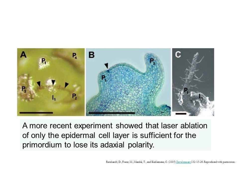 A more recent experiment showed that laser ablation of only the epidermal cell layer is sufficient for the primordium to lose its adaxial polarity.