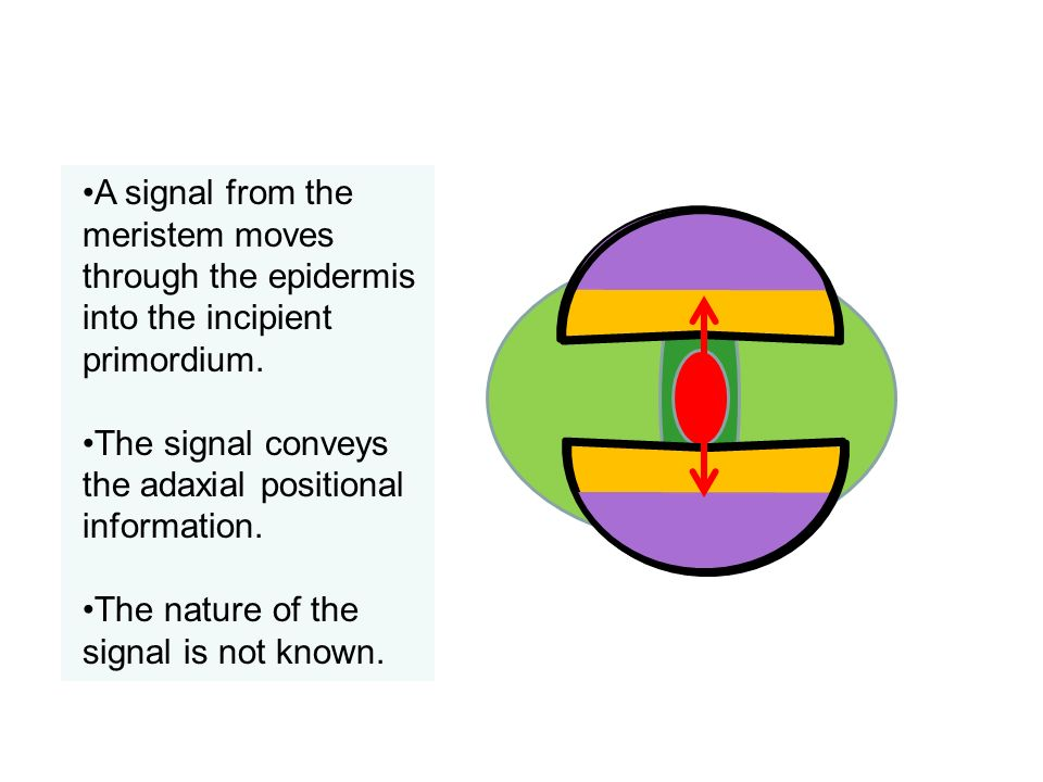 A signal from the meristem moves through the epidermis into the incipient primordium.