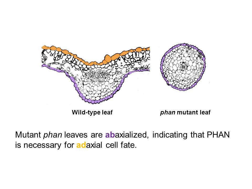 Wild-type leaf phan mutant leaf.