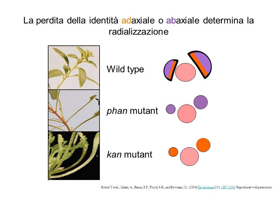La perdita della identità adaxiale o abaxiale determina la radializzazione