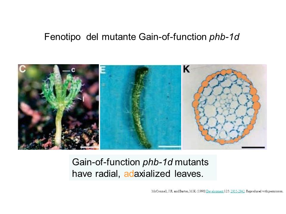 Fenotipo del mutante Gain-of-function phb-1d