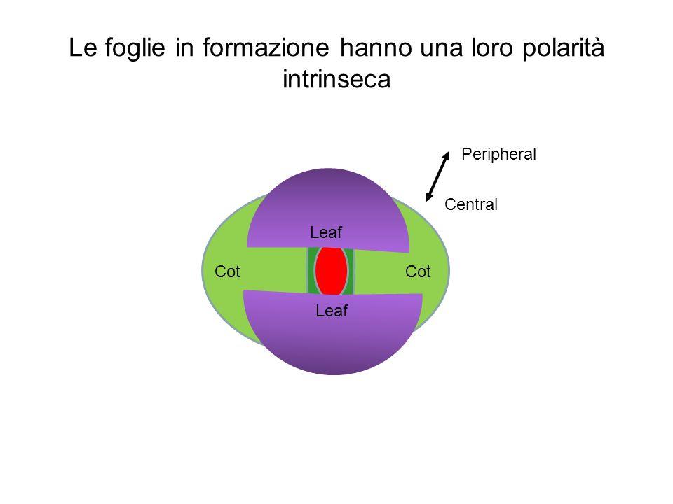 Le foglie in formazione hanno una loro polarità intrinseca