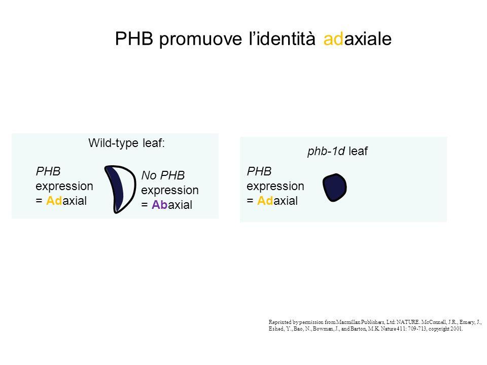 PHB promuove l'identità adaxiale