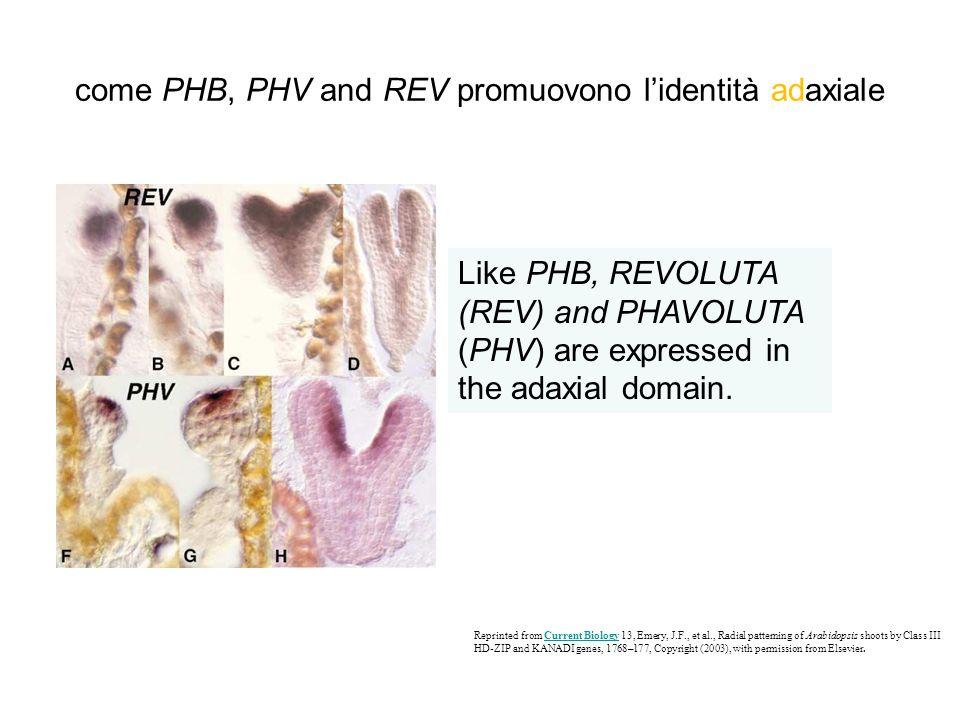 come PHB, PHV and REV promuovono l'identità adaxiale
