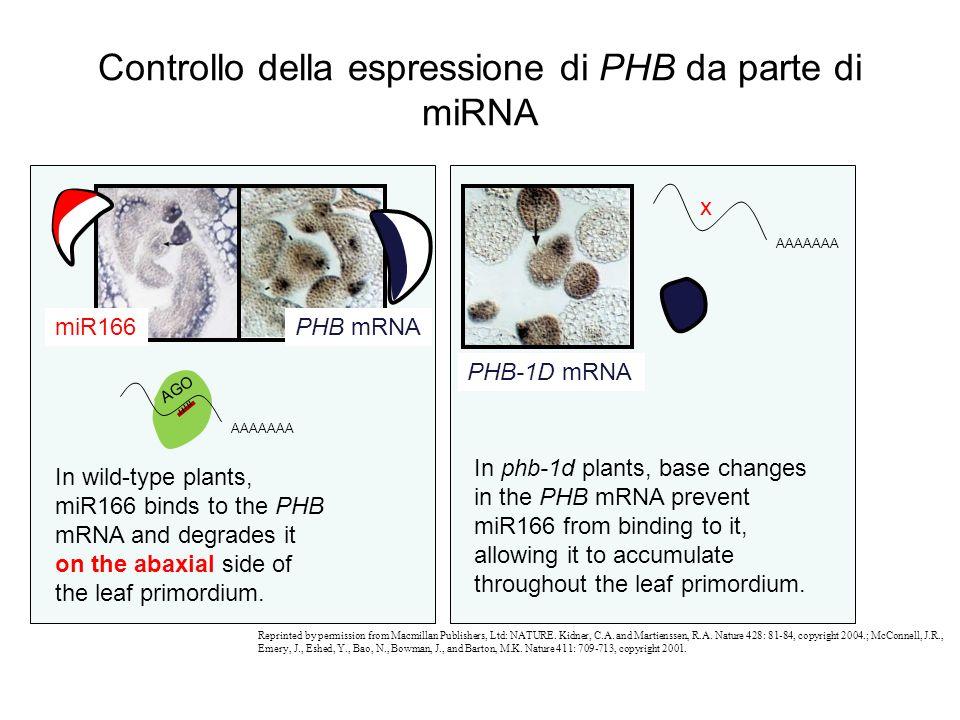 Controllo della espressione di PHB da parte di miRNA