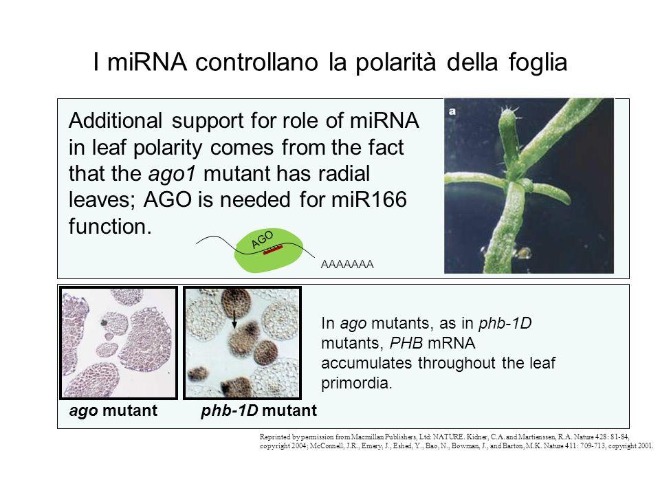 I miRNA controllano la polarità della foglia