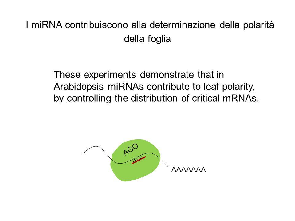 I miRNA contribuiscono alla determinazione della polarità della foglia