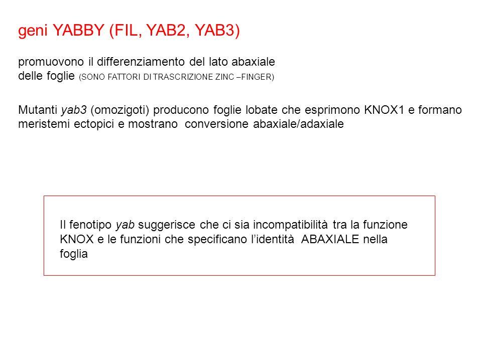 geni YABBY (FIL, YAB2, YAB3)
