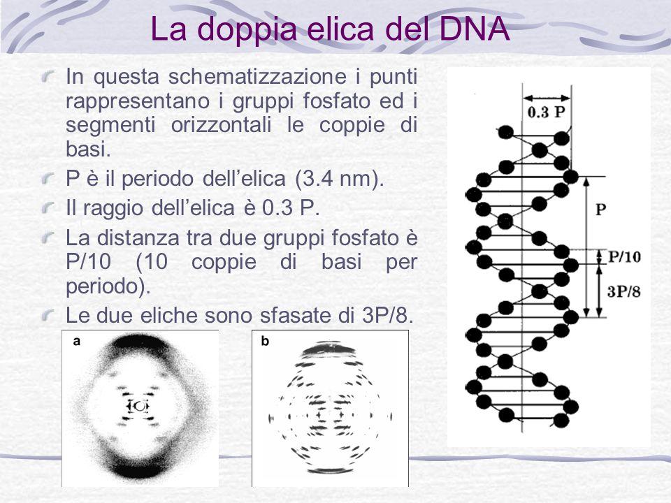 La doppia elica del DNA In questa schematizzazione i punti rappresentano i gruppi fosfato ed i segmenti orizzontali le coppie di basi.