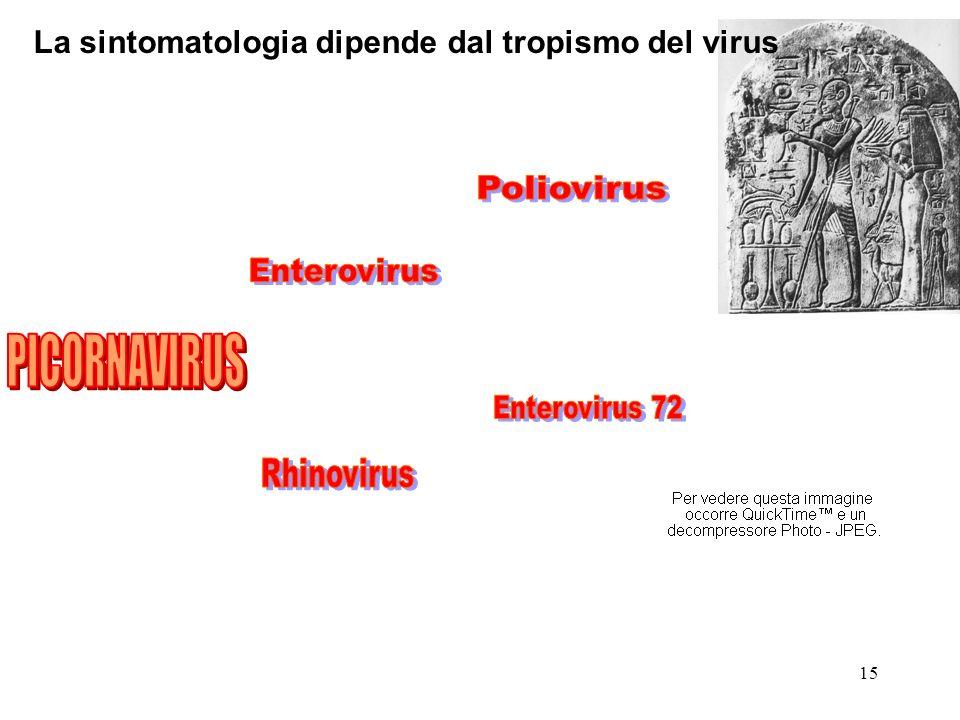 PICORNAVIRUS La sintomatologia dipende dal tropismo del virus