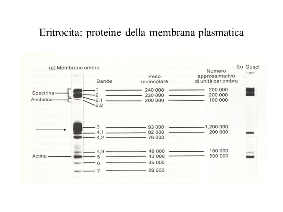 Eritrocita: proteine della membrana plasmatica