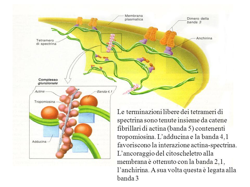 Le terminazioni libere dei tetrameri di spectrina sono tenute insieme da catene fibrillari di actina (banda 5) contenenti tropomiosina.