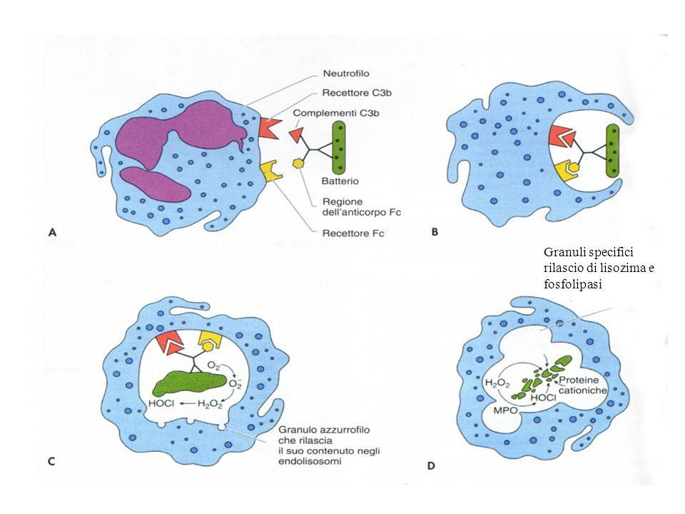 Granuli specifici rilascio di lisozima e fosfolipasi