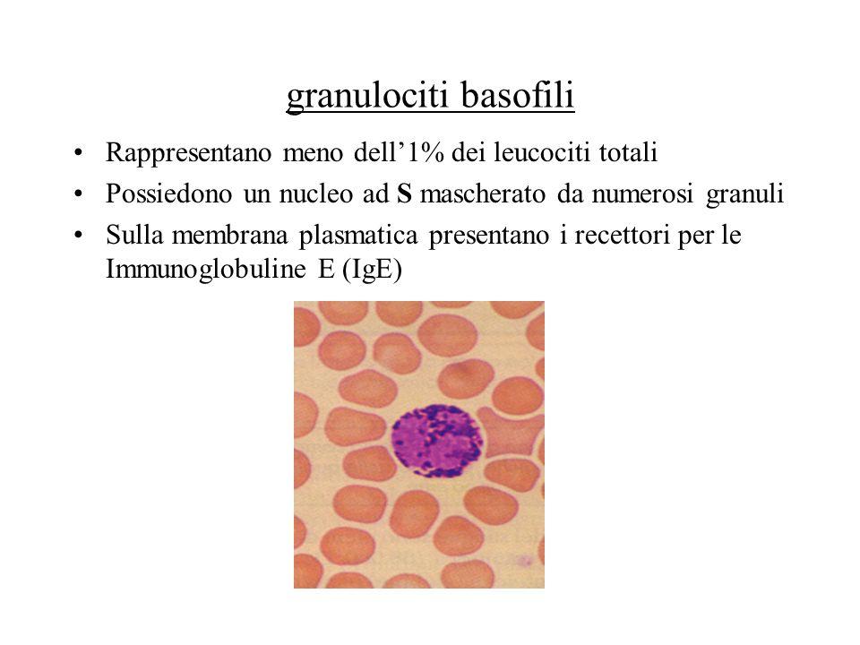 granulociti basofili Rappresentano meno dell'1% dei leucociti totali