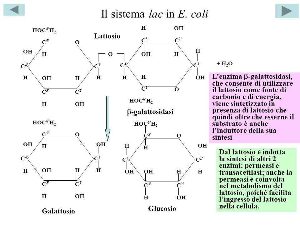 Il sistema lac in E. coli Lattosio