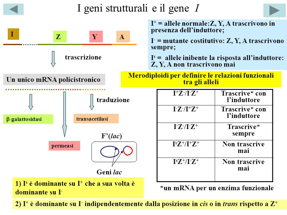 I geni strutturali e il gene I