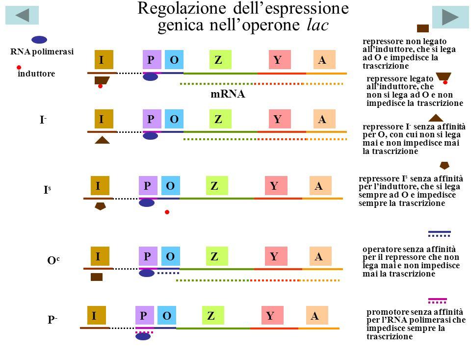 Regolazione dell'espressione genica nell'operone lac