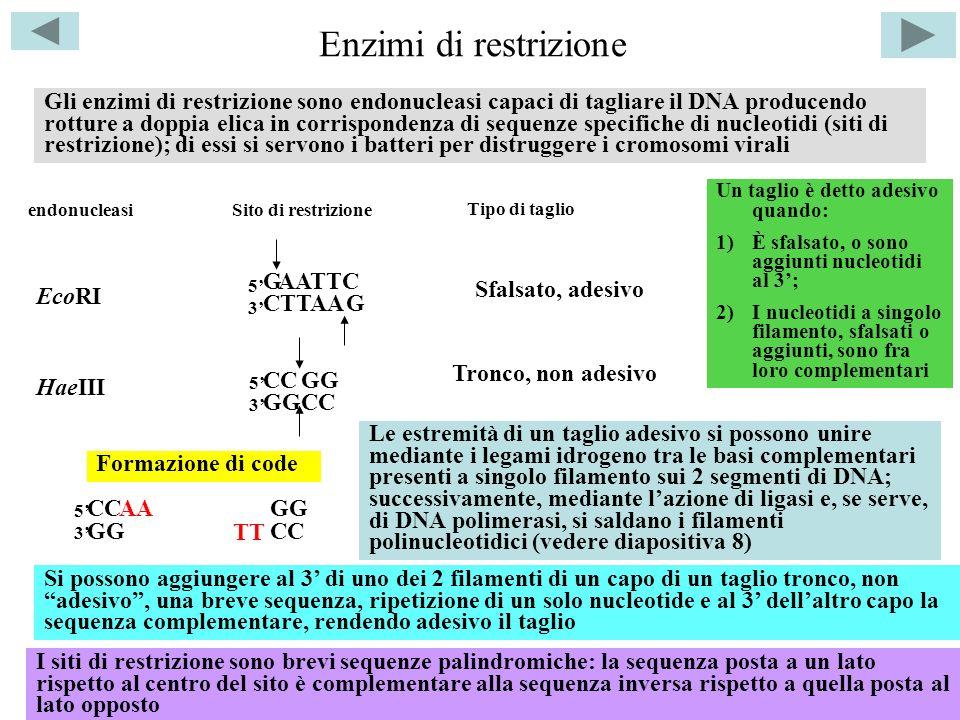 Enzimi di restrizione