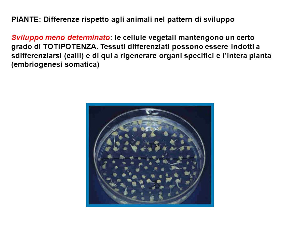 PIANTE: Differenze rispetto agli animali nel pattern di sviluppo