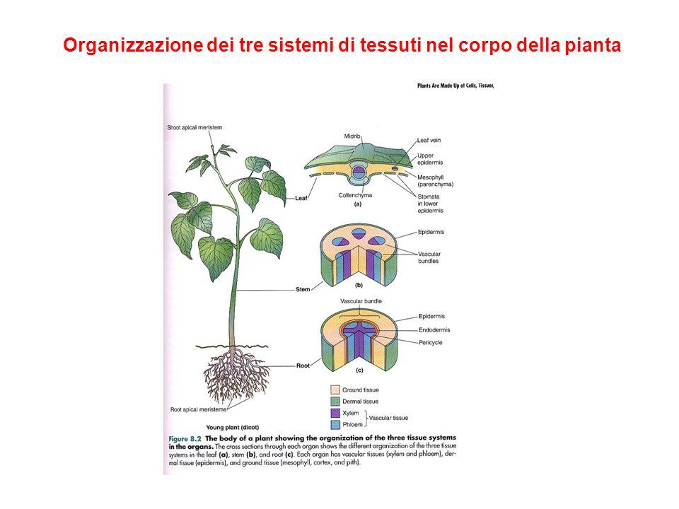 Organizzazione dei tre sistemi di tessuti nel corpo della pianta