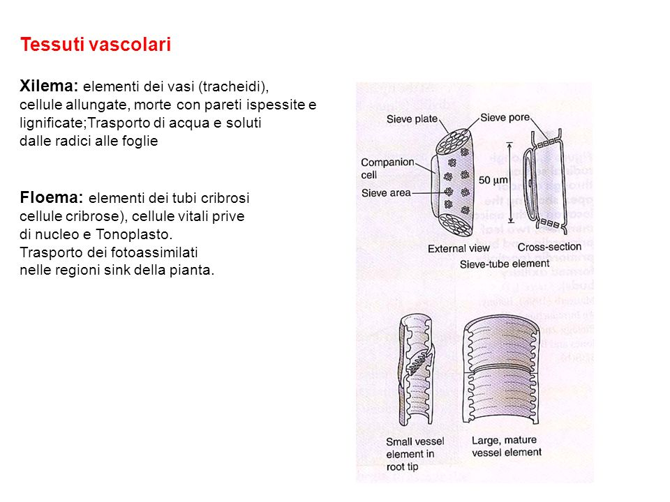 Tessuti vascolari Xilema: elementi dei vasi (tracheidi),