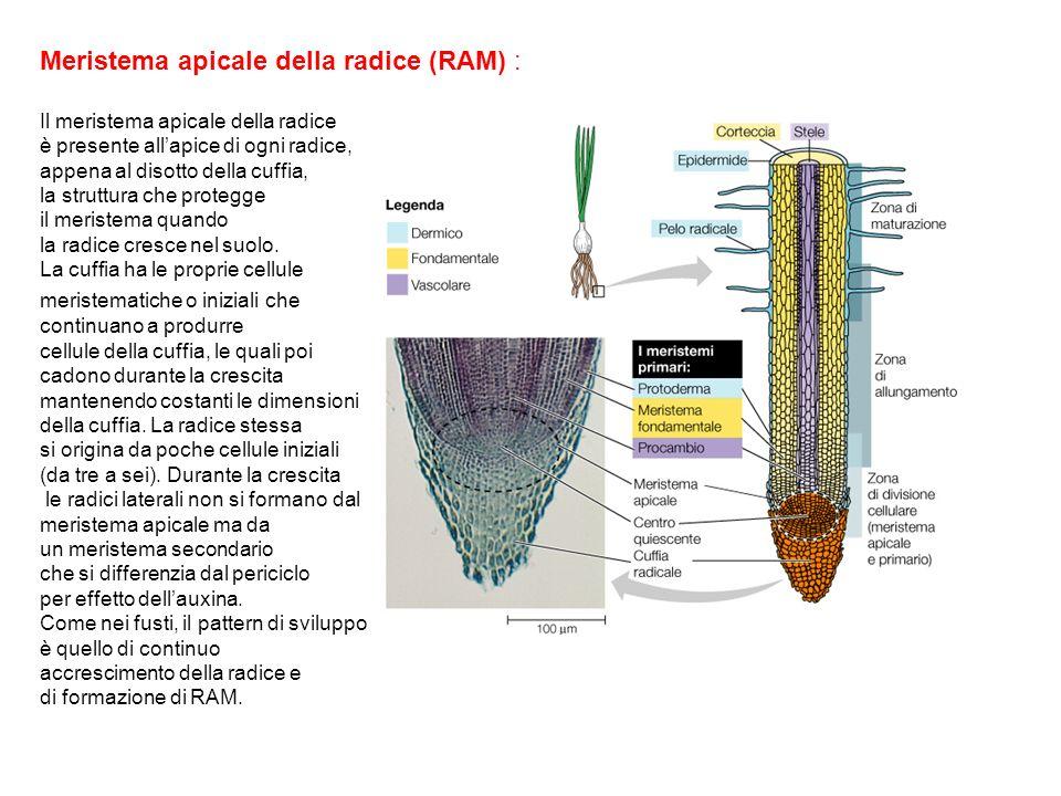 Meristema apicale della radice (RAM) :