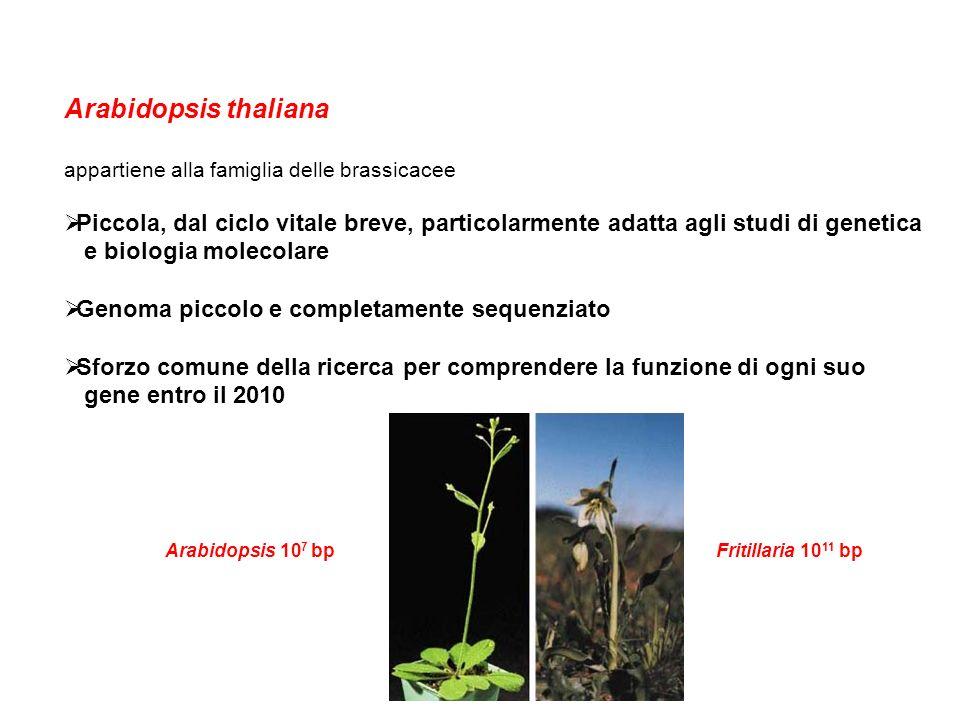 Arabidopsis thaliana appartiene alla famiglia delle brassicacee. Piccola, dal ciclo vitale breve, particolarmente adatta agli studi di genetica.