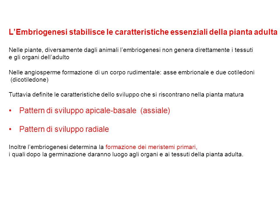 Pattern di sviluppo apicale-basale (assiale)
